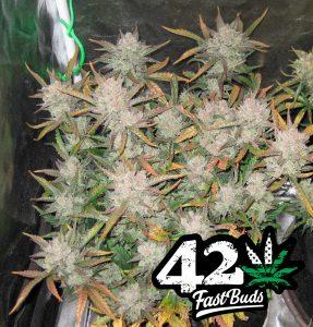 420FastBuds GorillaGlue